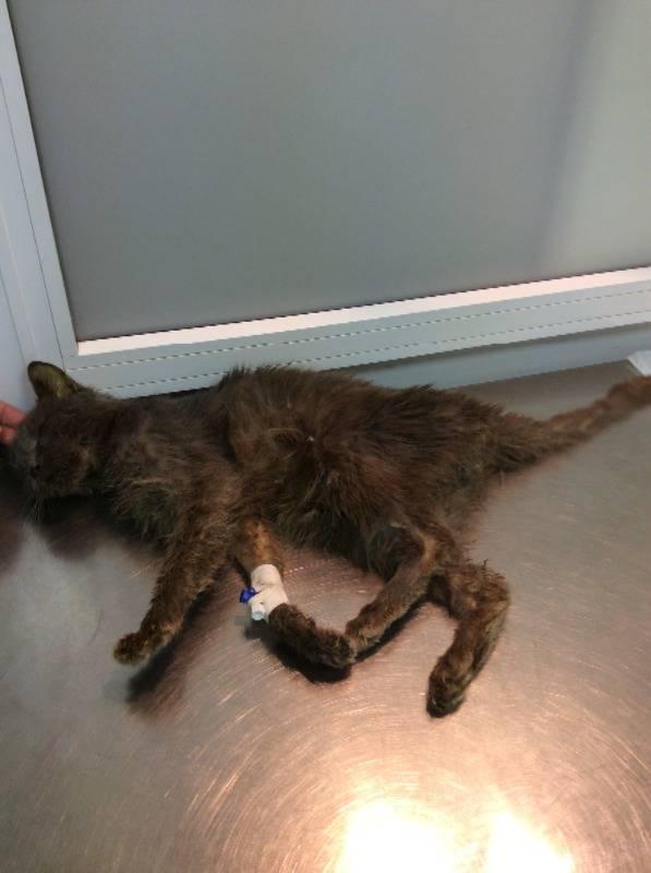 Хпн у кошек и котов: симптомы и лечение