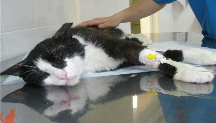 Почечная недостаточность у кошек – причины и симптомы острой и хронической форм патологии