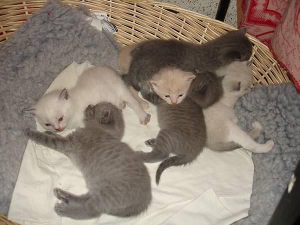 Сколько котят может родить кошка сфинкс первый раз