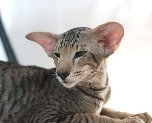 Кошки всех пород с фотографиями, названиями и особенностями характера - знать про все