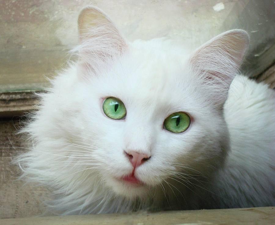 Белые породы кошек: названия, фото, особенности ухода