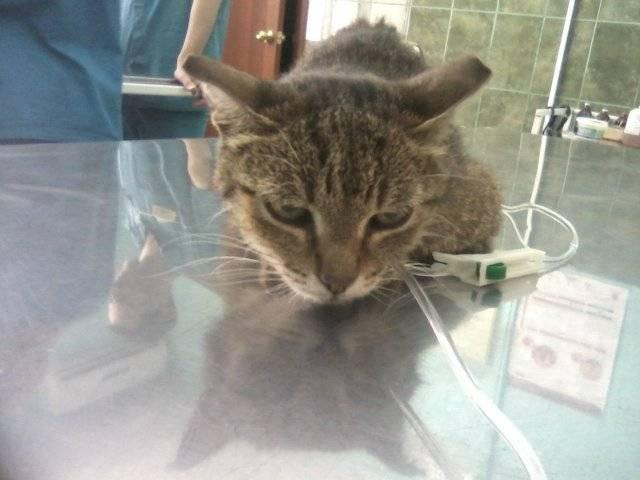 Воспаление легких у кошек прогноз - лучший врач