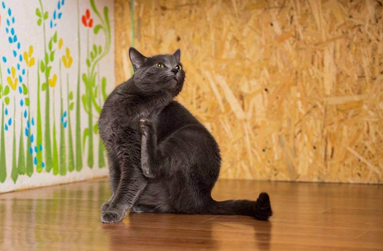 Капли против блох для кошек — как действуют и какие лучше?