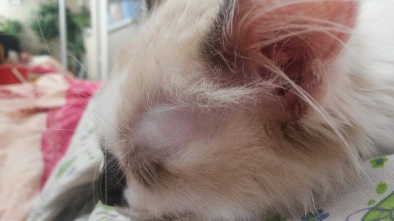 Кот лысеет: проплешины, выпадает шерсть на голове
