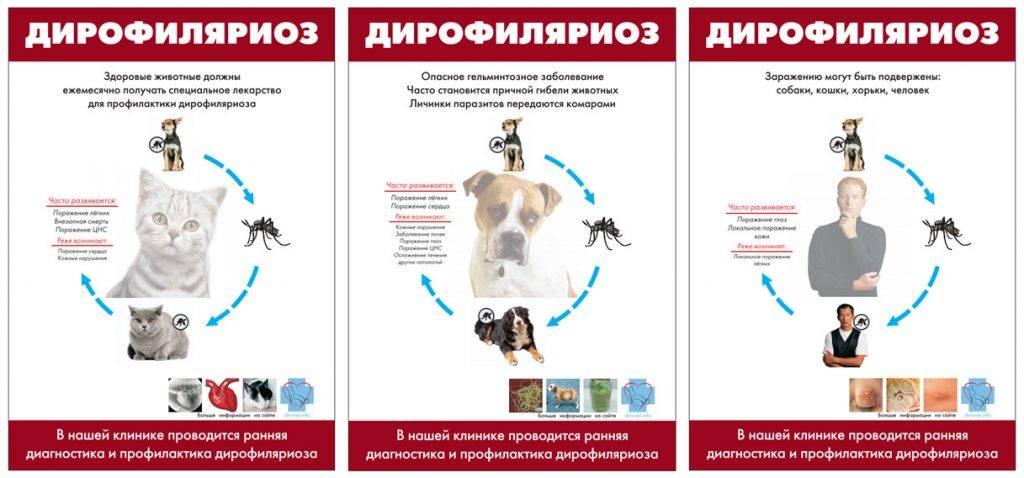 Симптомы и лечение дирофиляриоза у собаки