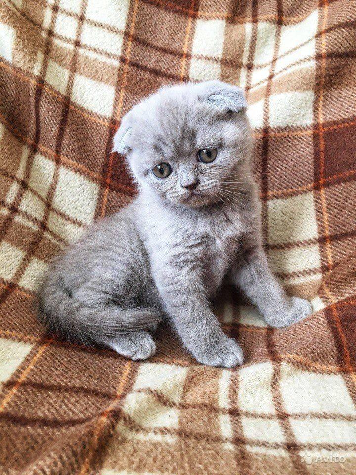 Выбор клички для шотландского котёнка мальчика, лучшие варианты имен для питомца