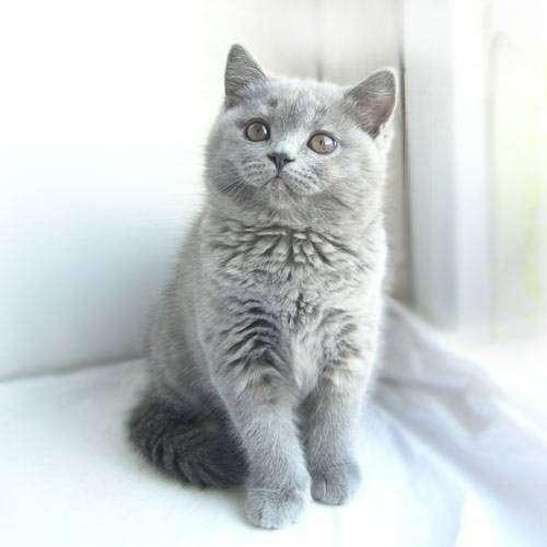 Стоимость котёнка породы шотландская вислоухая