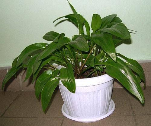 Опасен ли спатифиллум для кошек? как примирить растение с животным?