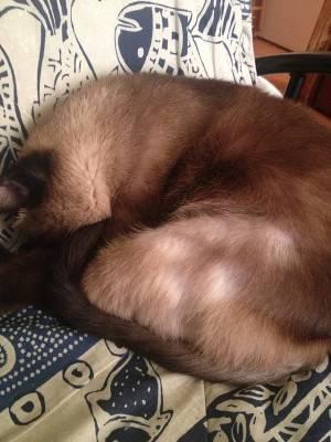 У кошки облысел живот и задние лапы что это