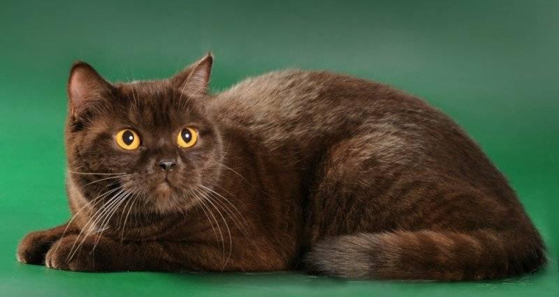 Йоркская шоколадная кошка: описание породы, характер, уход и содержание — приколись — смешные приколы — видео про животных, полезные истории, картинки о путешествиях