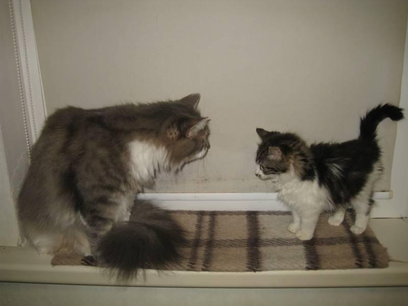 Рахит у кошек