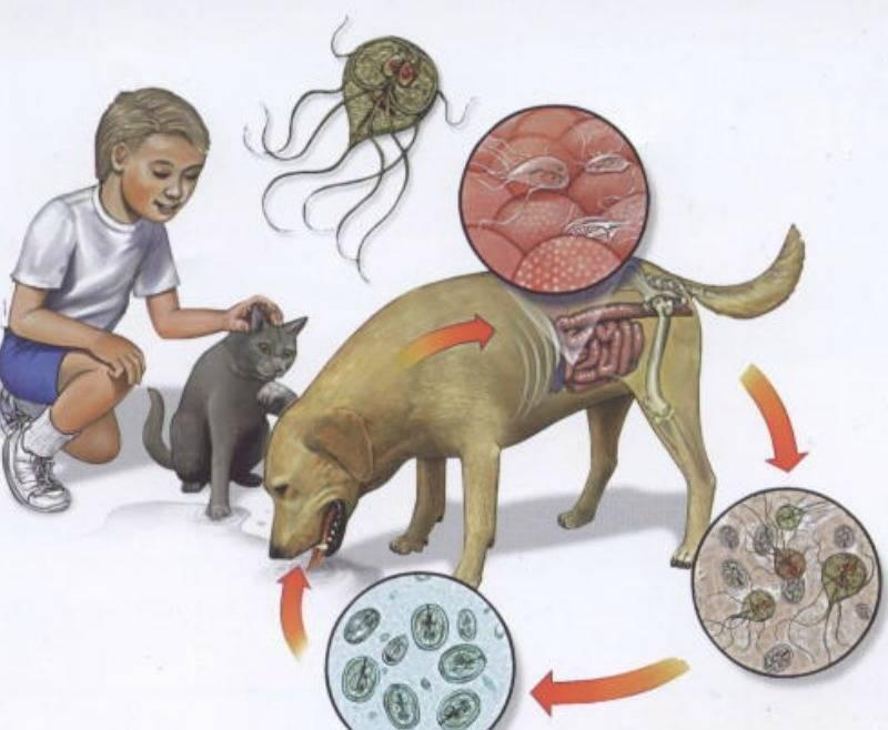 Лечение лямблиоза у кошек?
