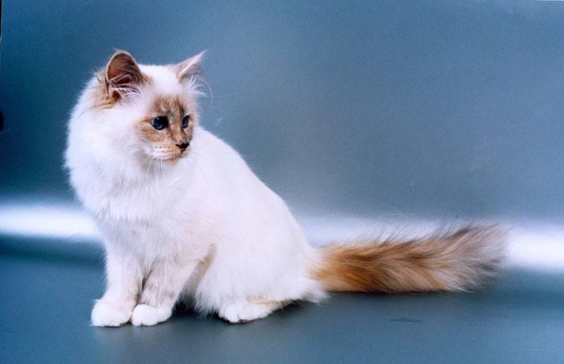 Длинношерстные кошки: названия пород с фото и описанием, уход