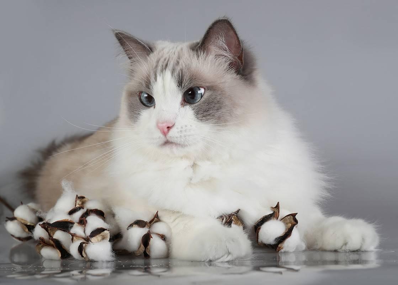 Американские кошки породы рэгдолл