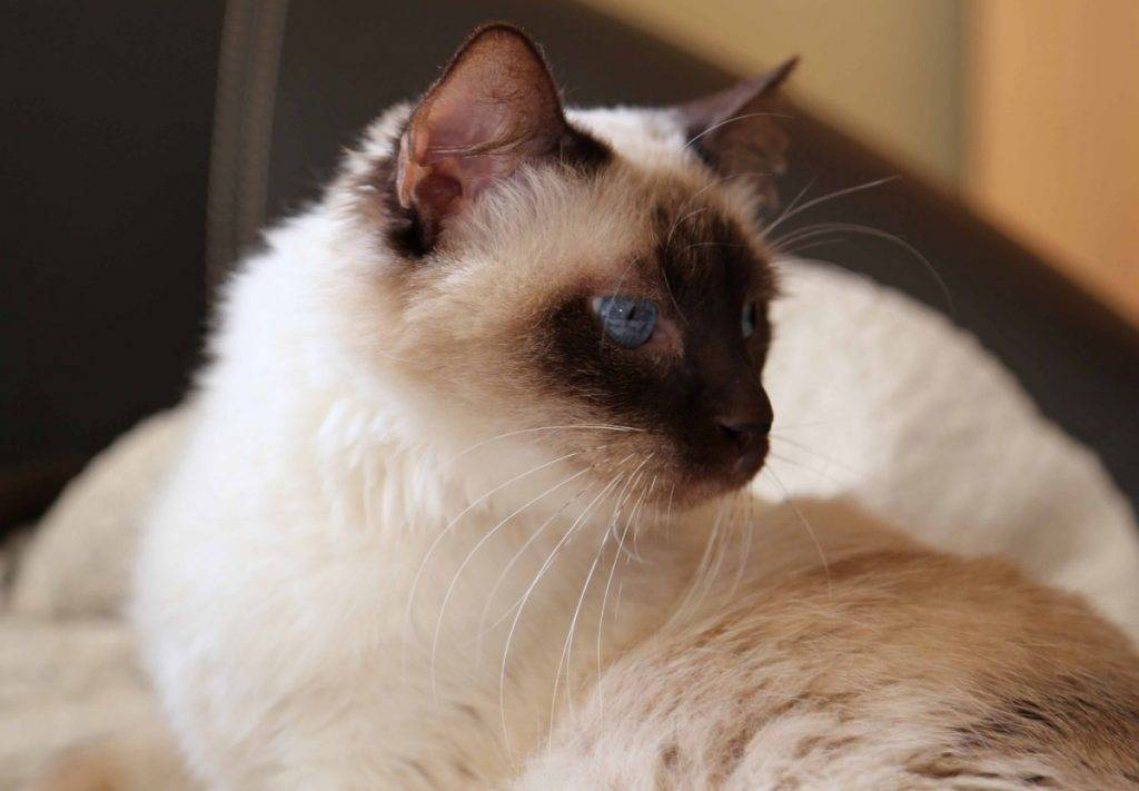 Кошки породы балинез: описание породы, характер, особенности ухода