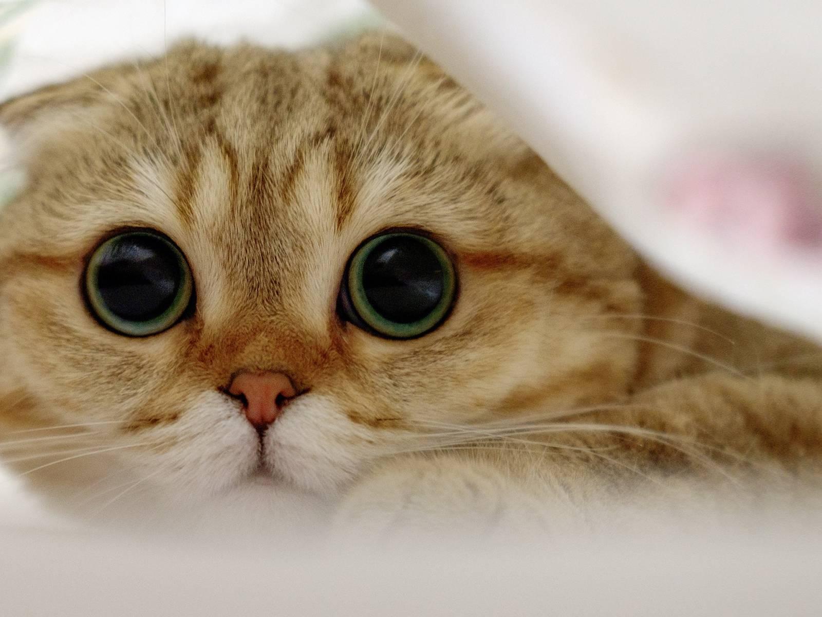 Кошки с длинными лапами: названия пород, их описания и фото