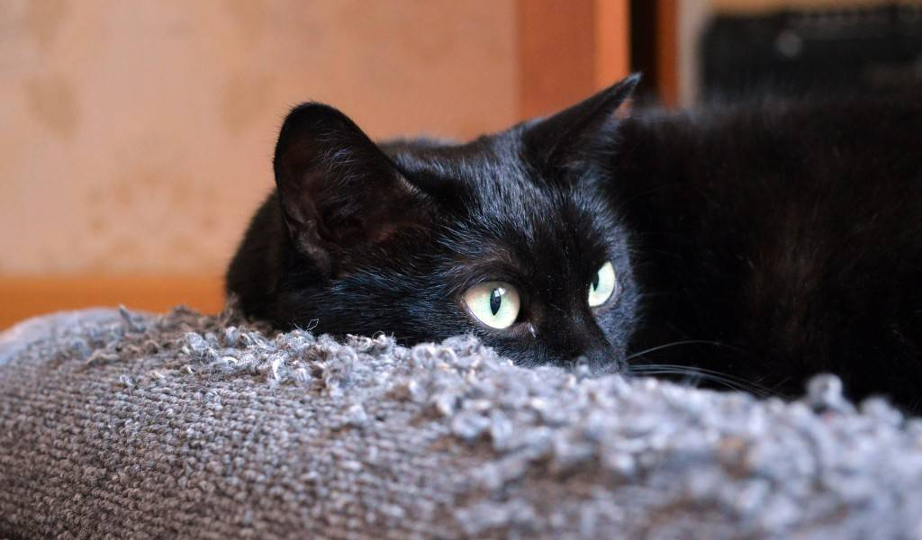 Что сулит черная кошка в доме и опасно ли ее заводить