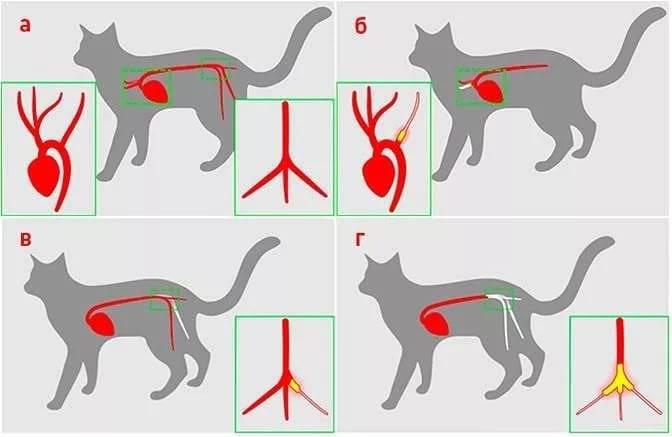 Что делать, если у кошки инфаркт?