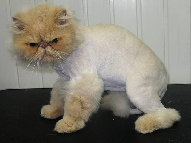 Список забавных и красивых имен для шотландского кота