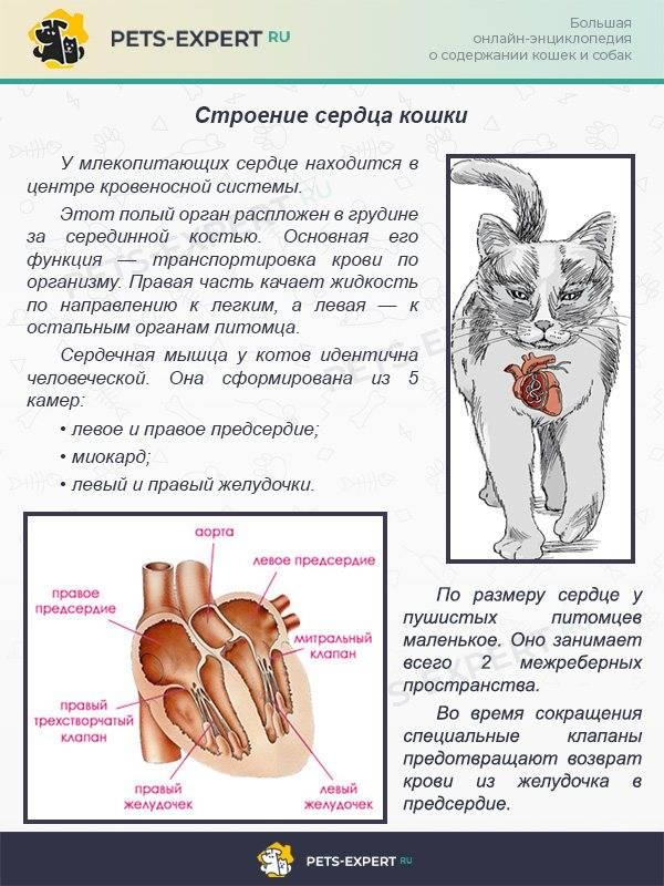 Сердце кошки - строение, анатомия, фото - kotiko.ru