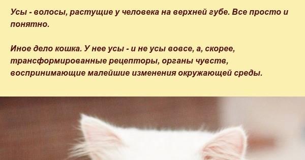 Варианты — что будет, если отрезать кошке усы?