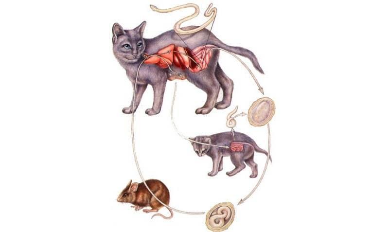 Глисты у кошек: причины, симптомы, профилактика и лечение заражения гельминтами