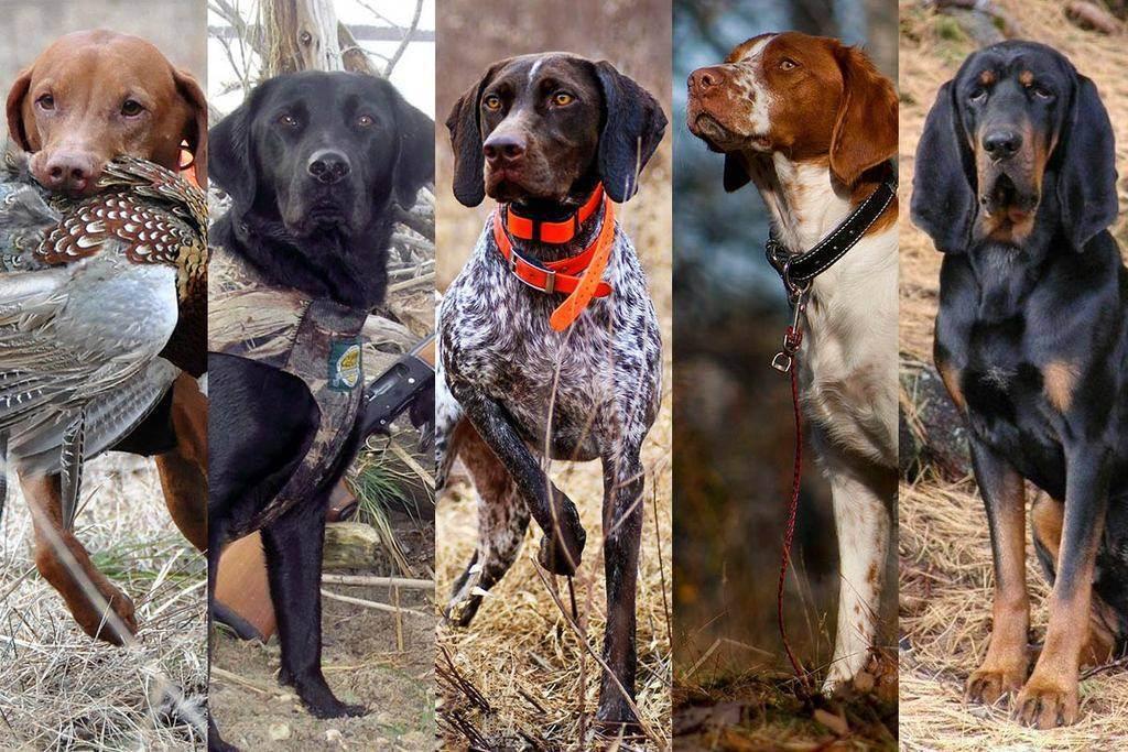 Лучшие охотничьи породы собак - 15 фото с названиями