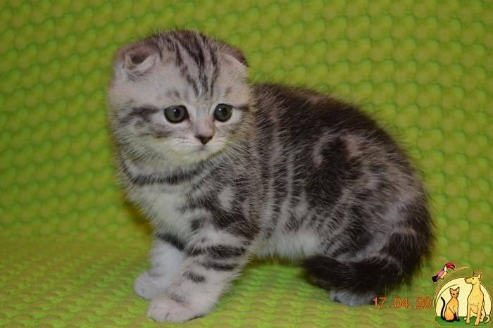 Чем кормить шотландского котенка и взрослого кота: выбор типа питания
