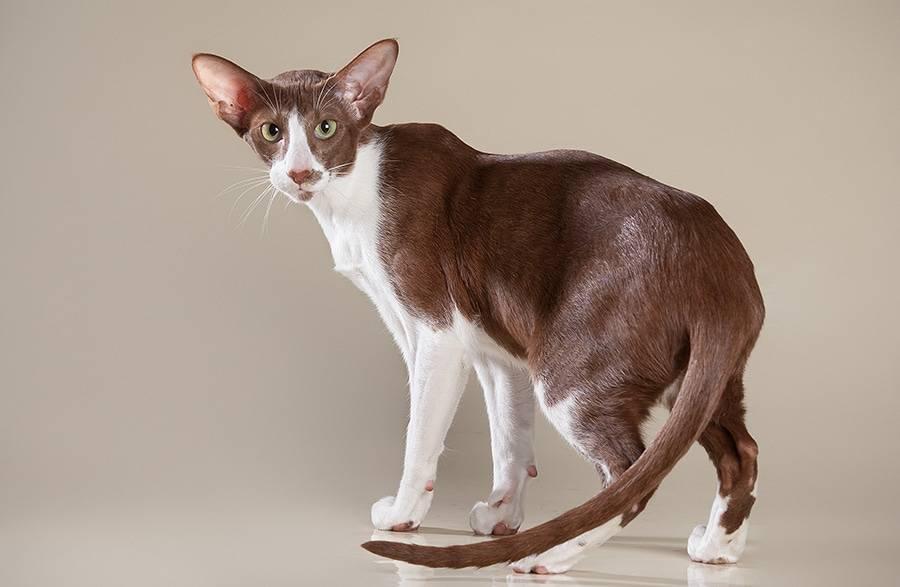 Манчкин: описание породы кошек с короткими лапами