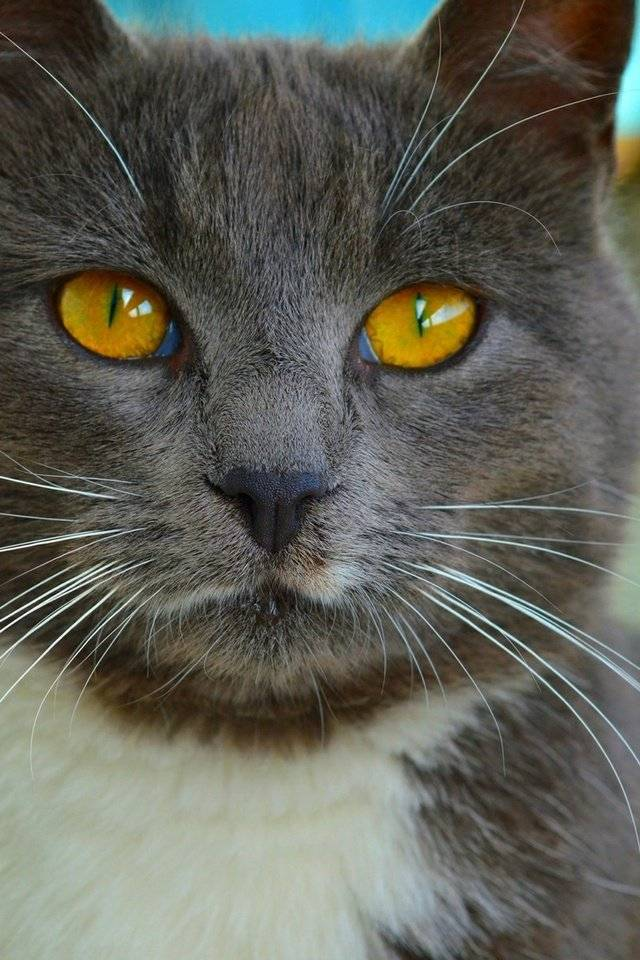 Желтые глаза у кошки - симптомы, лечение, препараты, причины появления   наши лучшие друзья
