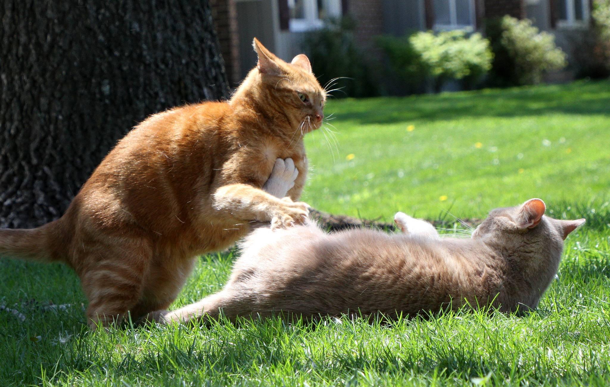Почему кошка внезапно нападает на хозяина. почему кошка рычит, кусается и шипит без причины