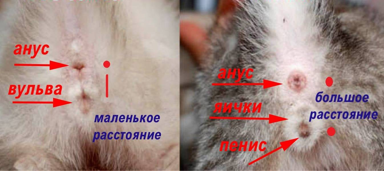 ᐉ как определить пол котенка? - ➡ motildazoo.ru