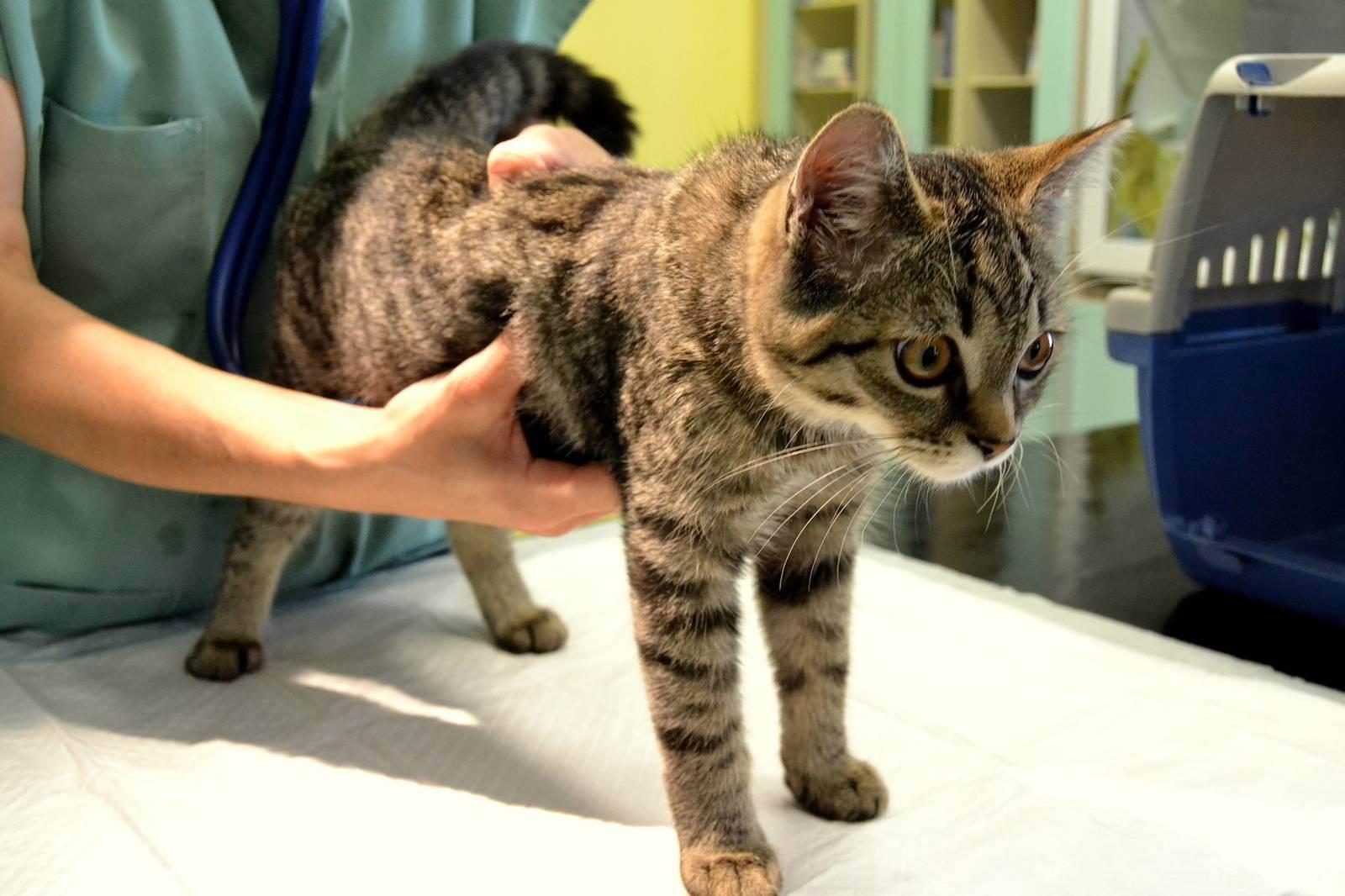 Дисбактериоз у кошек: симптомы, причины, методы лечения для восстановления микрофлоры кишечника