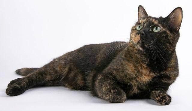 Генетика окрасов кошек
