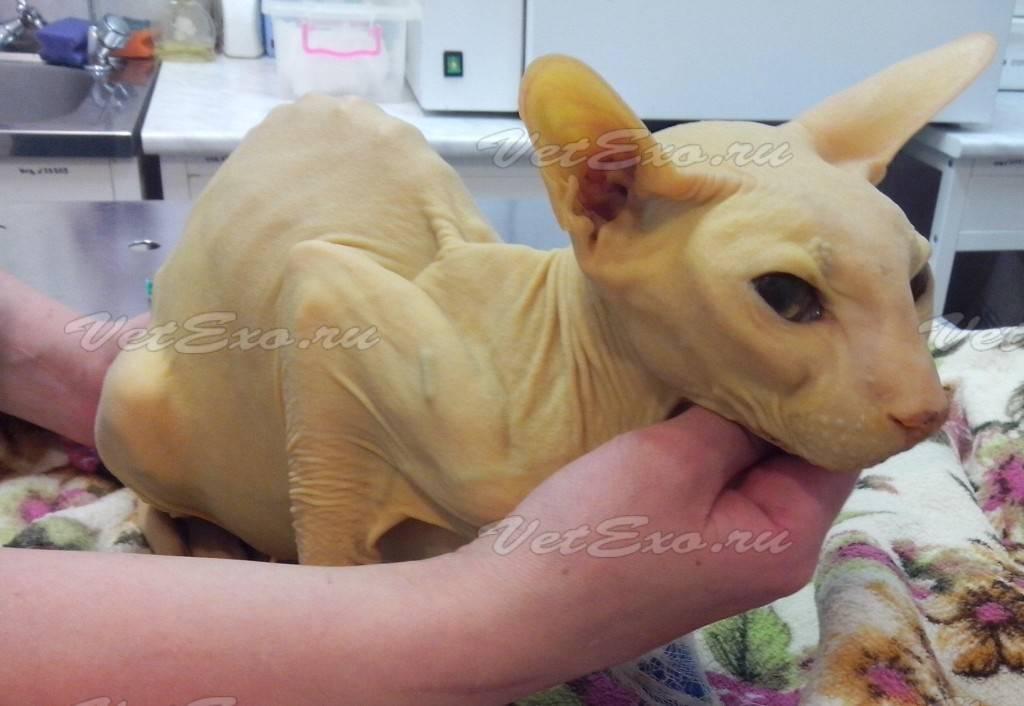 Симптомы гепатита у кошек, причины и лечение заболевания, прогноз: как долго проходит желтуха и сколько живут коты?
