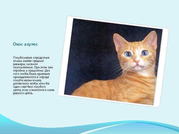 Охос азулес: внешнее описание породы, характер и повадки кошек, правила ухода