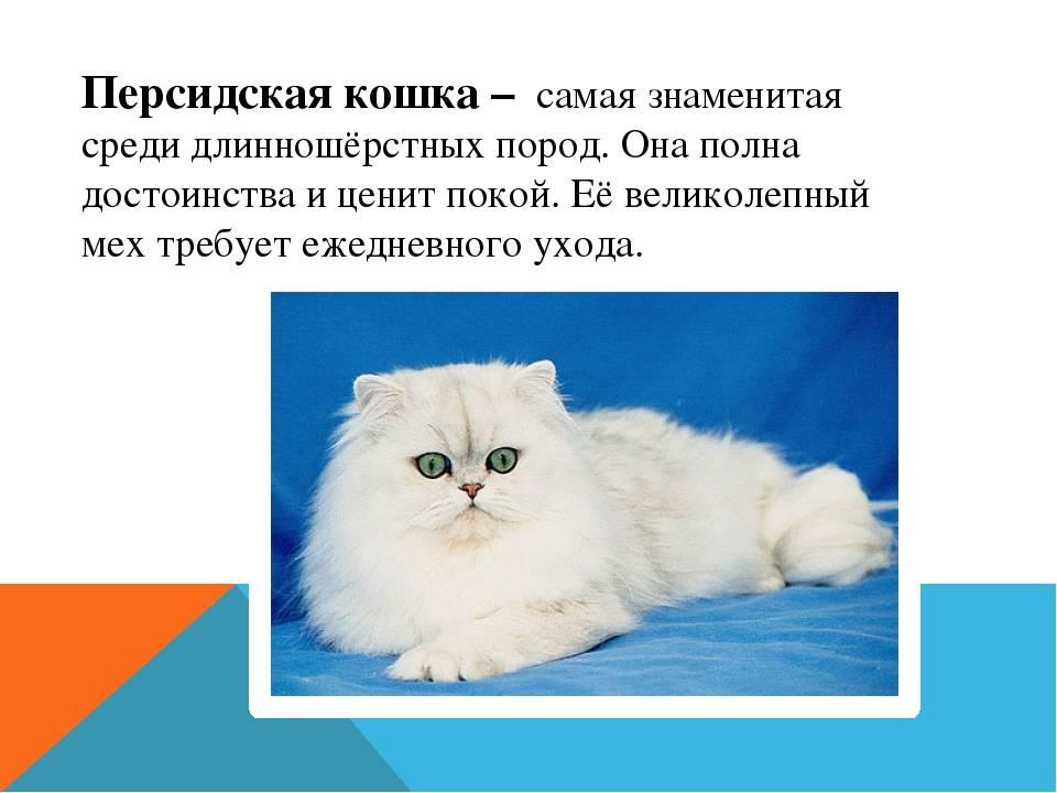 Британская длинношерстная кошка – характеристика породы с фотографиями