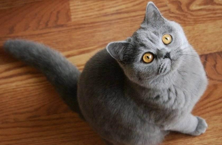 Британская короткошерстная кошка: описание стандарта и характера породы (90 фото и видео)