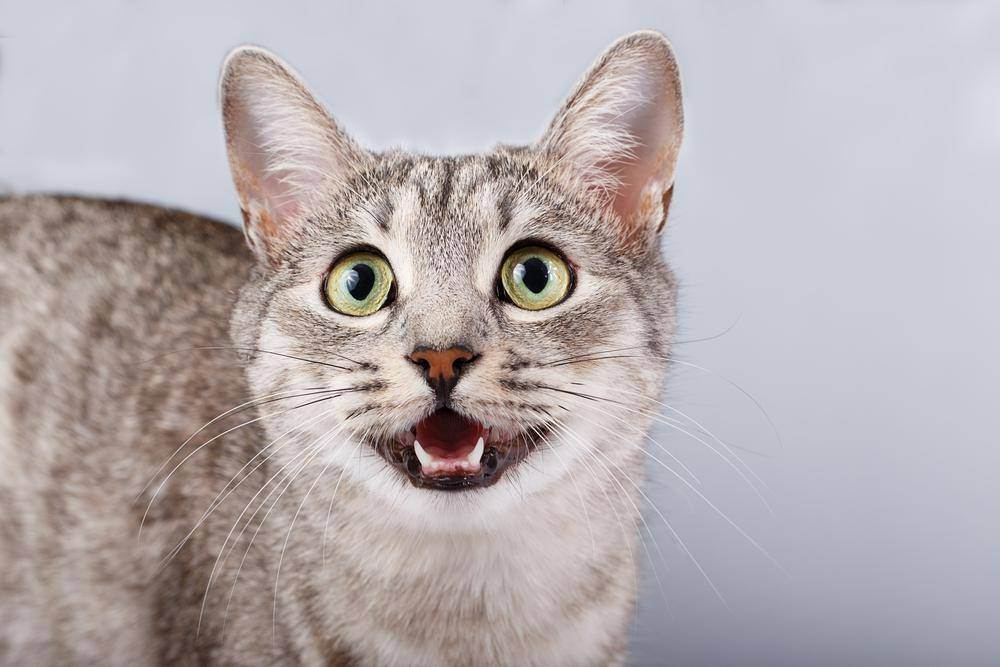 Кошку трусит что делать. кот дрожит — полный список причин от ветеринара