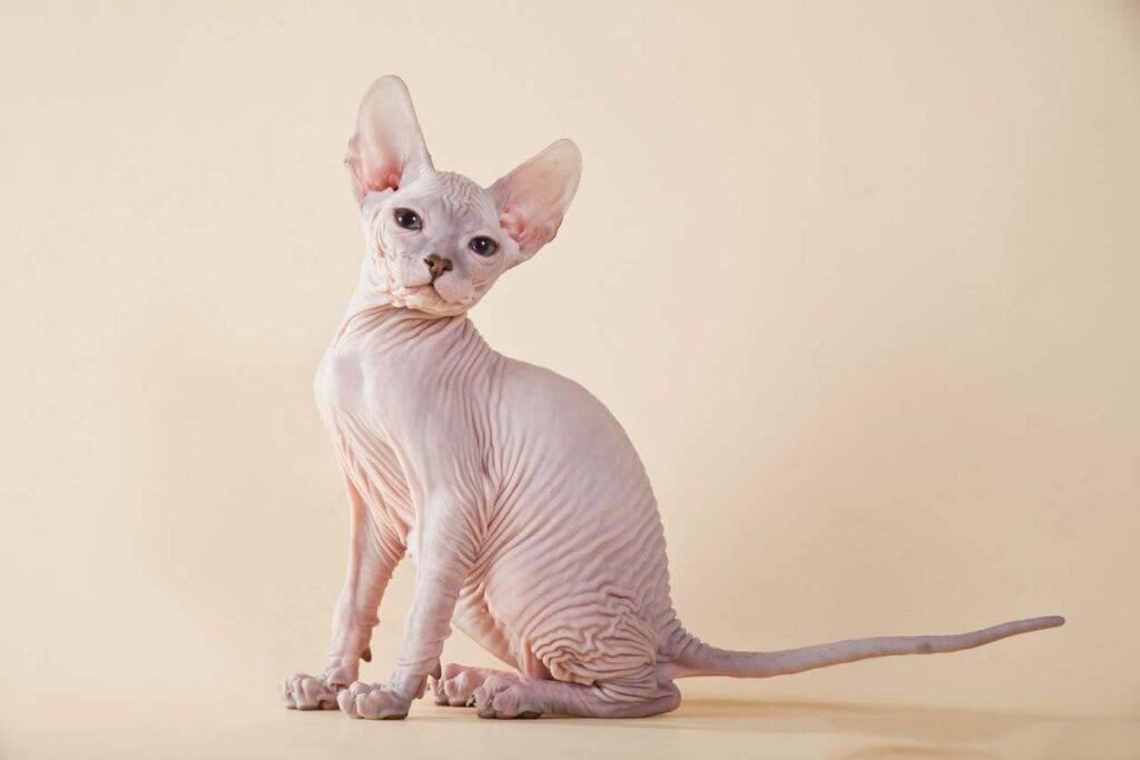 Кошки, на которых нет аллергии, какой породы взять кота аллергику - с шерстью или нет?