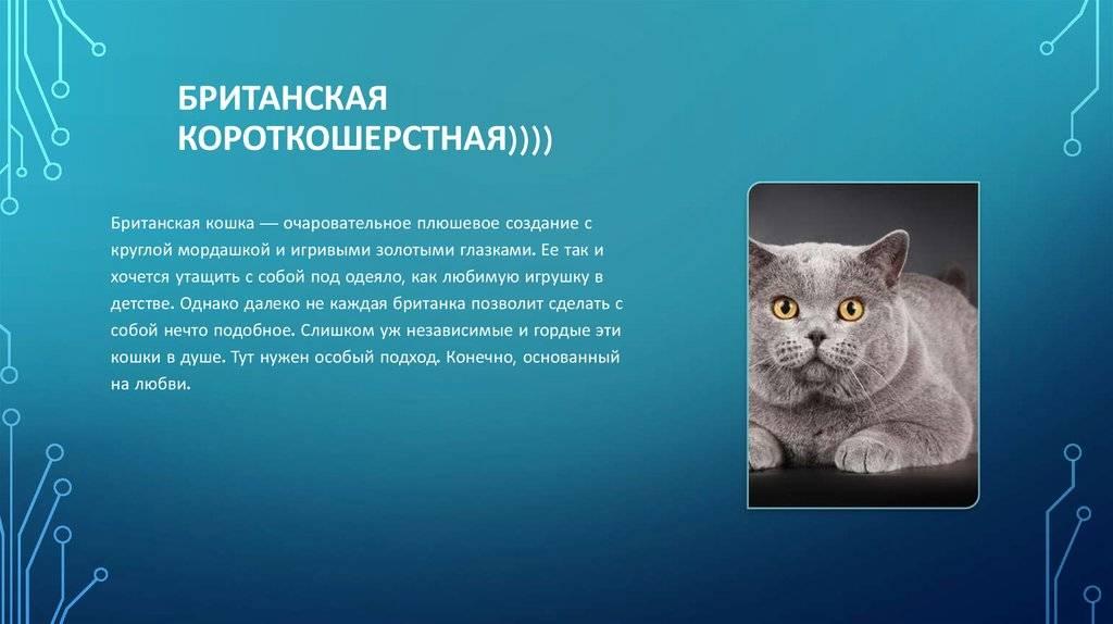 Называем британцев: клички для британских кошек девочек, клички британок на букву м, список лучших имён для котов британской породы, английское имя для кошки британки
