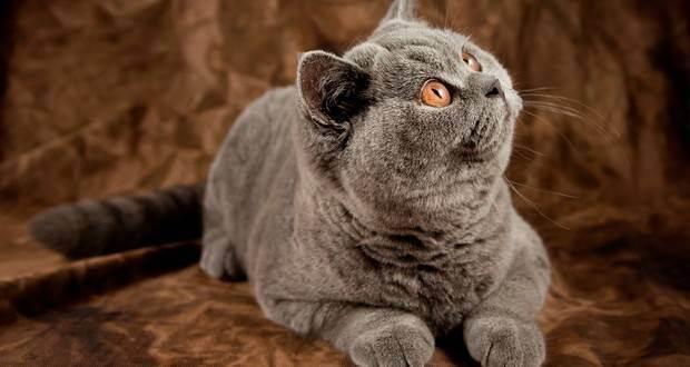 У шотландской или британской кошки понос: причины и лечение. недержание мочи и кала у котов недержание кала у кота британца 2 месяца