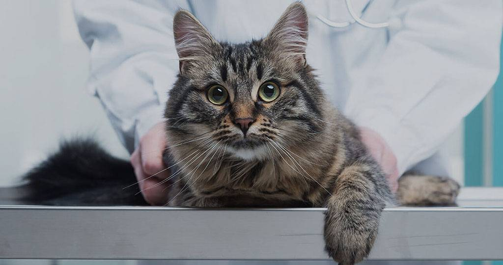 Панлейкопения  кошек (этиология, патогенез, эпизоотология, меры борьбы и профилактики, методы диагностики и терапии, дезинфекция, вакцинация). что делать после переболевания панлейкопенией?