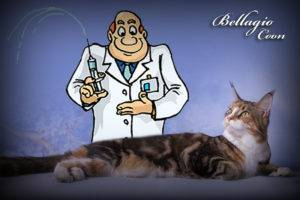 Особенности содержания кошек породы мейн кун. адаптация котят мейн-кунов
