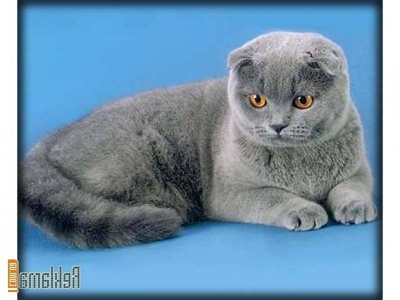 Шотландская вислоухая кошка (скоттиш-фолд): полный обзор породы