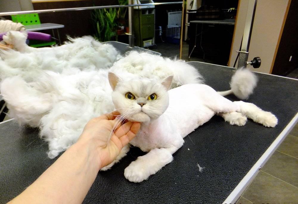 Как правильно постричь и побрить кота