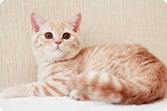 Heartmelody » генетика кошек