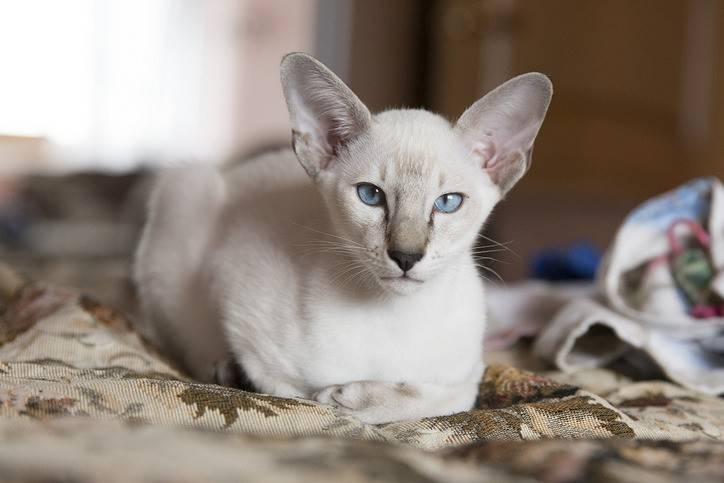 Ориентальная кошка: сколько стоит, как ухаживать и чем кормить