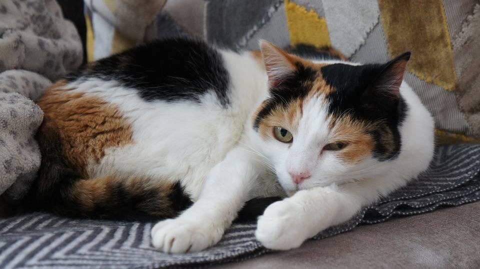 К чему снится трехцветная кошка или котенок женщине и мужчине, как толкуют этот сон разные сонники?