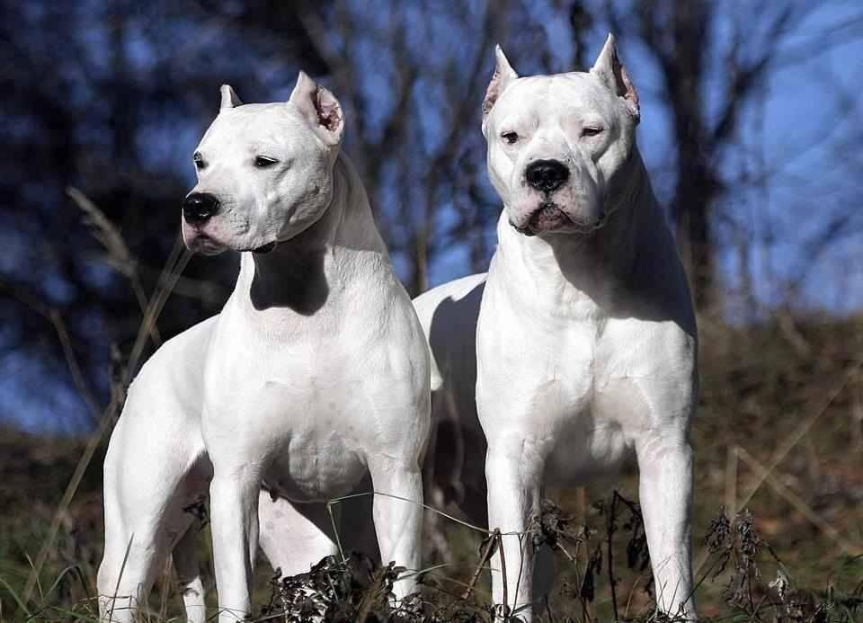 Аргентинский дог - описание породы и характер собаки